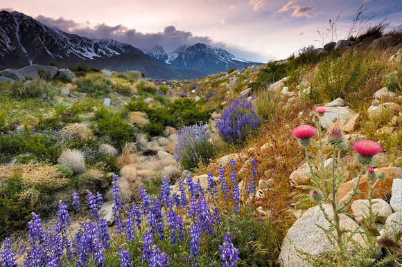 Lupines and Star Thistle, Eastern Sierra